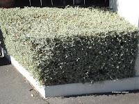 Licorice plant 'box' - Mona Vale Garden, Christchurch, New Zealand