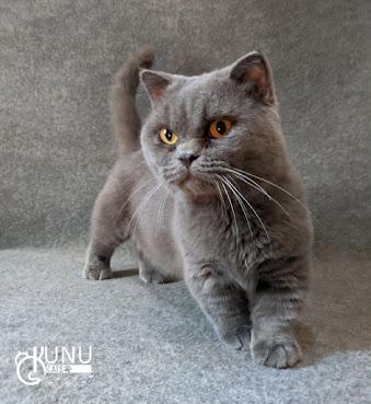Ras Kucing Gaelic