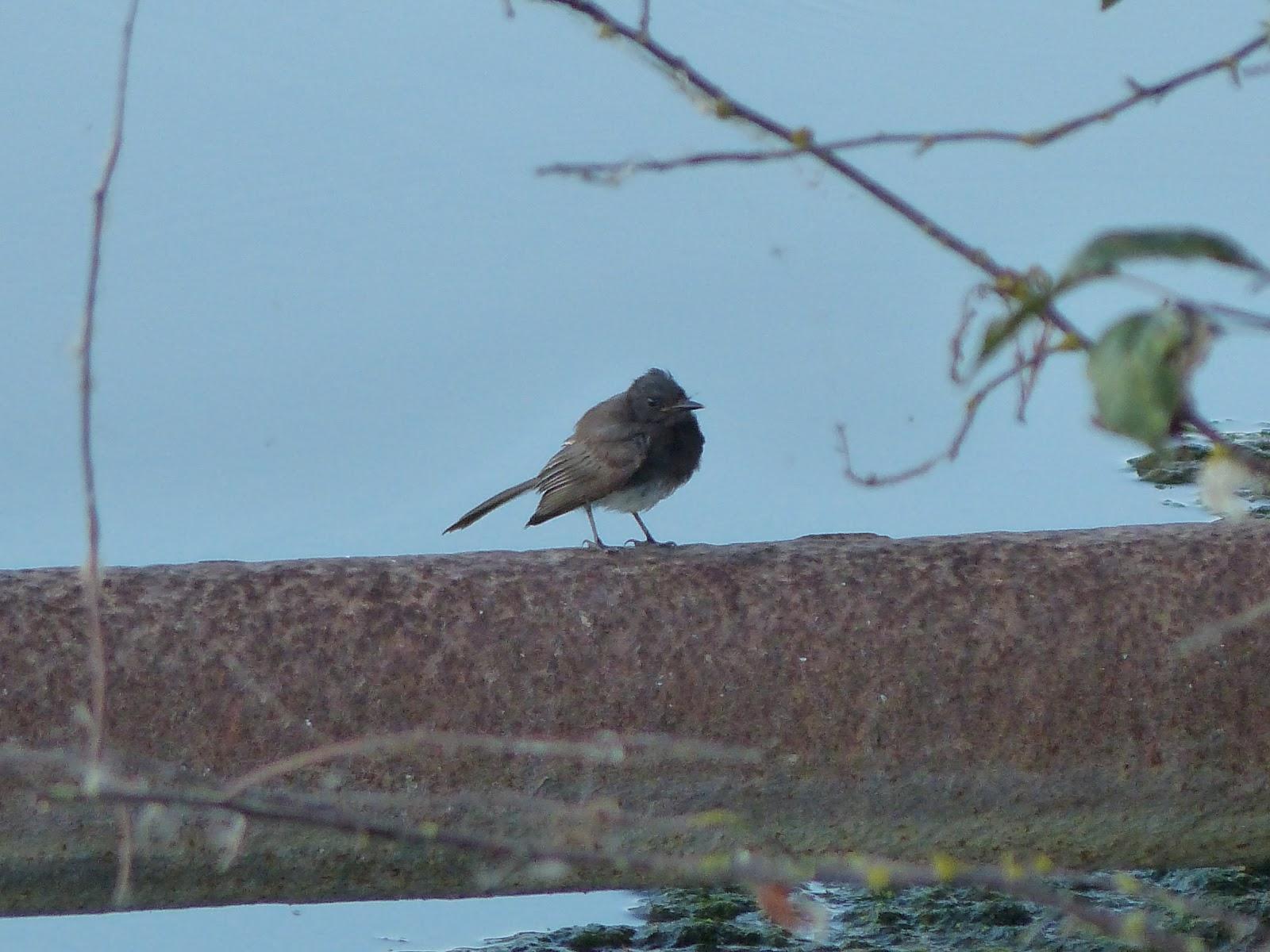 Bc Rare Bird Alert Rba Black Phoebe In Delta Aug 29 30th