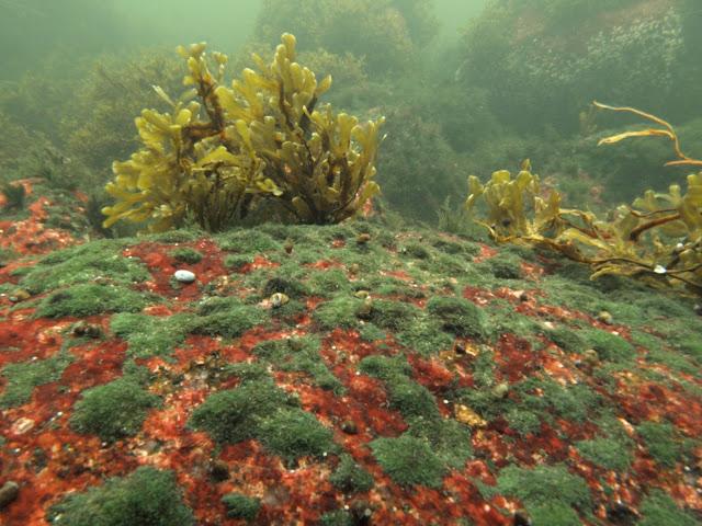 Kirjavien levien peittämiä kallioita veden alla