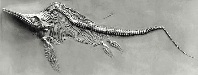 Fossiles Skelett eines Ichthyosauriers aus dem Posidonienschiefer (Unterjura) Südwestdeutschlands