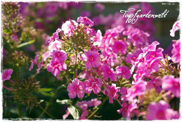 hoher Phlox pink