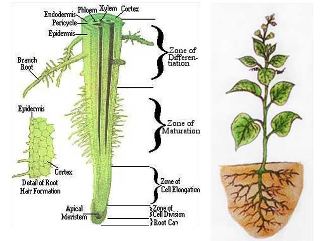 Pertumbuhan akar dan fungsinya