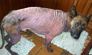 pavel-perro-intoxicado cachorro triste nestle dog can perro pet ShurKonrad Chaclacayo