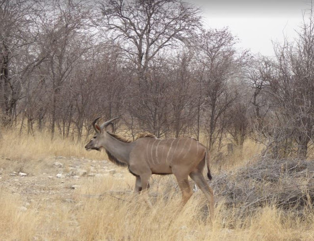 Kudu all'Etosha