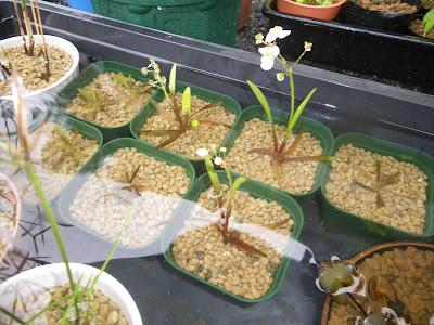 ナガバオモダカ 花