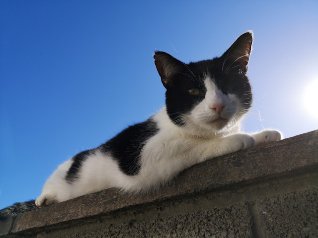 black and white cat chilling on top of a wall, bright blue sky behind it