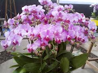 Cara Menanam Bunga Anggrek Agar Berbunga Cantik