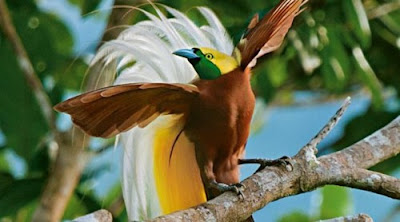 """Burung Cendrawasih (The Bali Bird of Paradise)"""