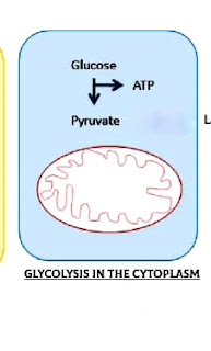Glycolysis-in-the-cytoplasm