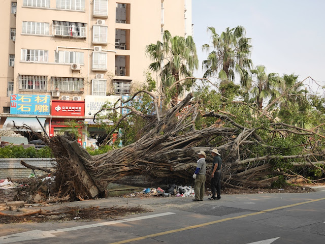 large fallen tree in Zhuhai