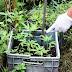 Tres detenidos y más de 100 plantines de marihuana secuestradas en dos allanamientos