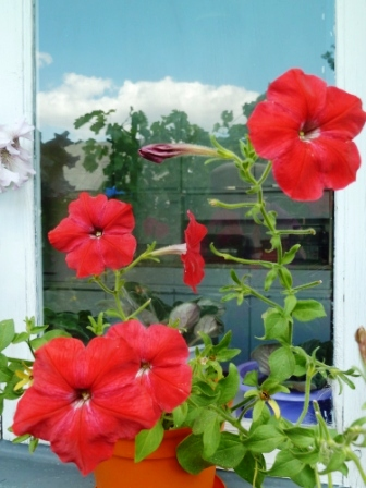 цветет петуния