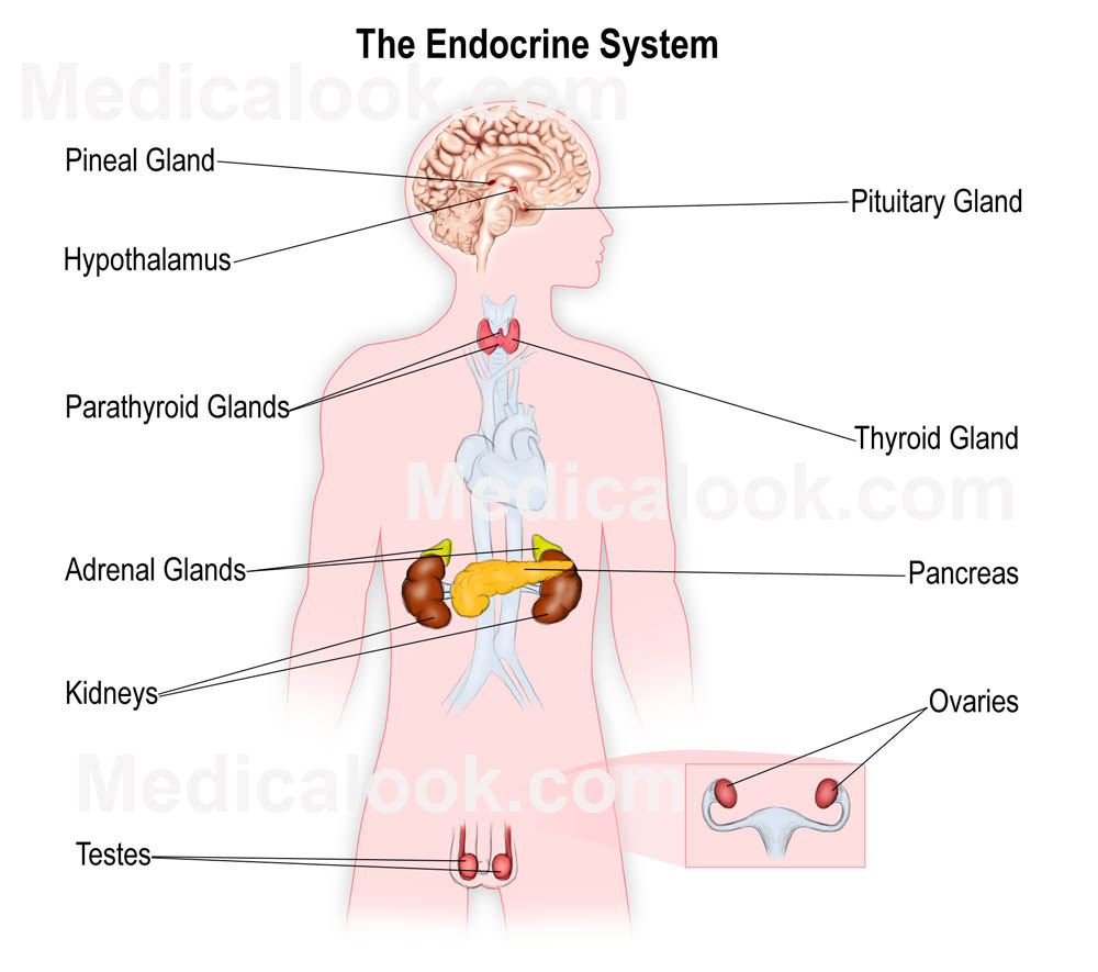 Printables The Human Endocrine System Worksheet the human endocrine system worksheet davezan collection of bloggakuten