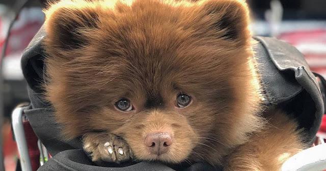 К чему приводит мода на маленьких собак: этого померанского шпица выбросили, потому что он был «слишком большим»