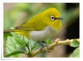 Mengenal 5 jenis burung pleci dan ciri cirinya