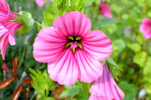 beautiful pink mallow flower