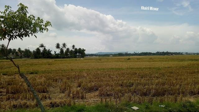 Aktivitas Panen Padi di Gampong Cot Bada Baroh