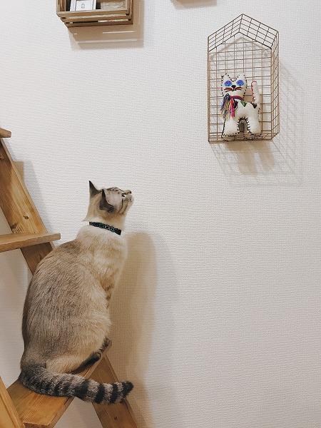 壁に飾られた猫のぬいぐるみを見つめるシャムトラ猫