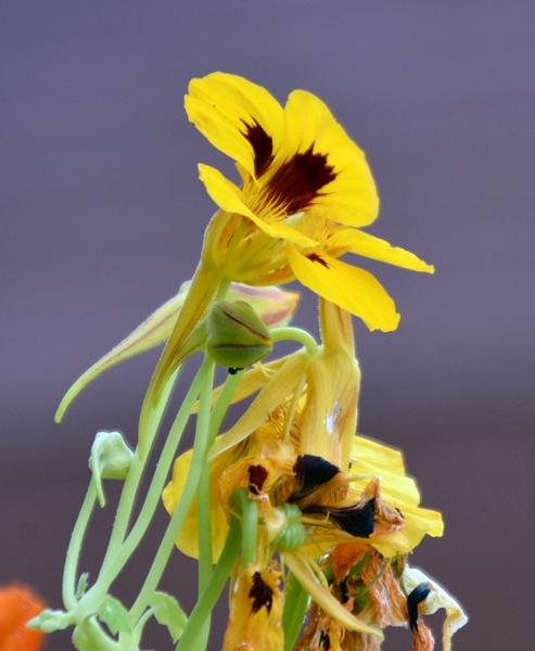 blomkarse