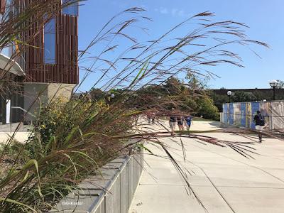 Andropogon gerardii, big bluestem, planted at the University of Michigan