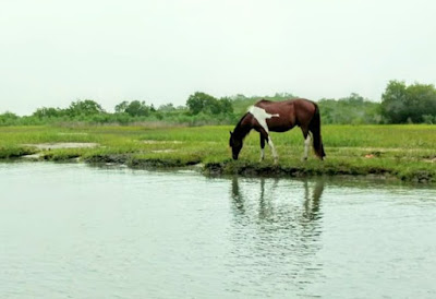 Wild Horses and Ponies on Chincoteague Island in Virginia