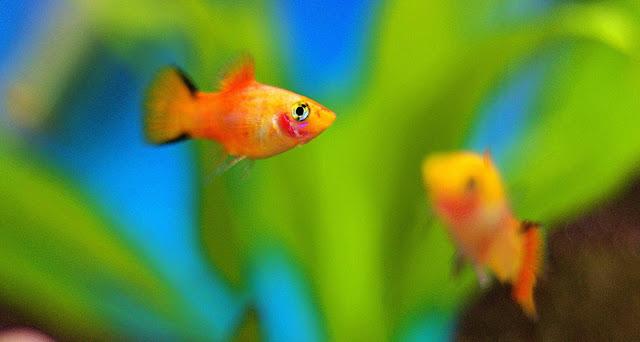 platy fish breeding