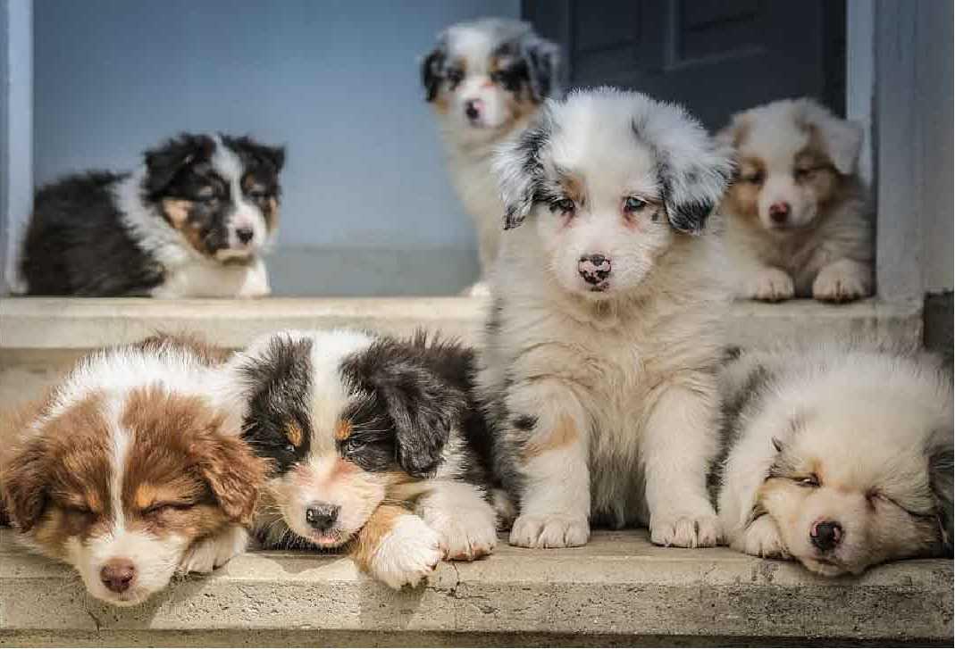 border collie, berger australien, race de chien, les animaux de la compagnie, chien de compagnie, races de chiens, chiot, aussies, australian shepherd, berger américain miniature, chien de chasse
