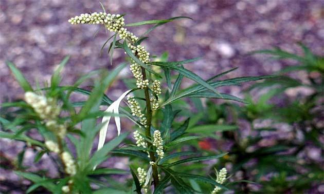 Artemísia (Artemisia vulgaris L. )