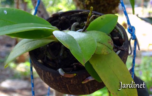 Cultivo de orquídeas na casca do coco seco