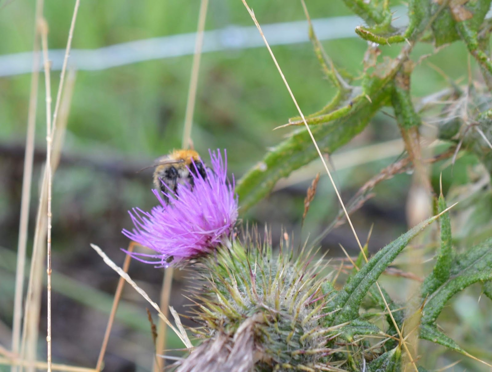 FREE Nature Trail at Derwent Waterside Park, Consett  - wild flowers and bees