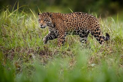 Ягуар - грация дикой природы