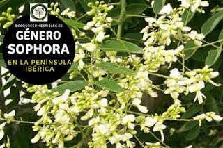 El género Sophora son arboles parecidos a la Acacia pero carecer de espinas