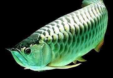 Daftar Harga Supplier Jual Bibit Ikan Arwana Wonosobo 2020