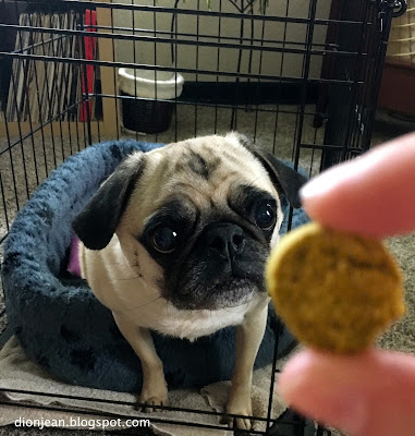 Liam the pug looks at a treat