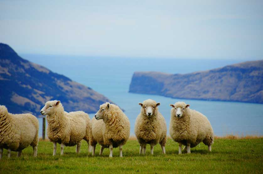 New Zealand and its sheep