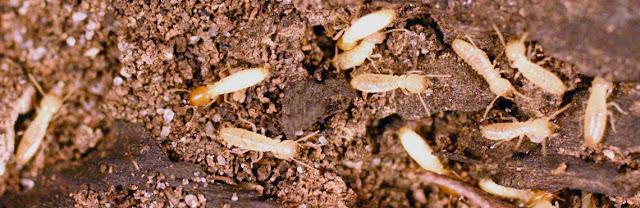 desinsectación termitas valladolid