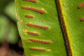 [Asplenianceae] Asplenium scolopendrium – Hart's Tongue Fern {Scolopendria comune}