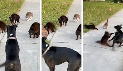 Anjing memasuki wilayah kucing yang cukup agresif.