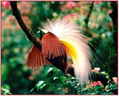 Harga Burung Cendrawasi Terbaru 2015