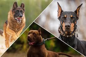 guard-dog-breeds
