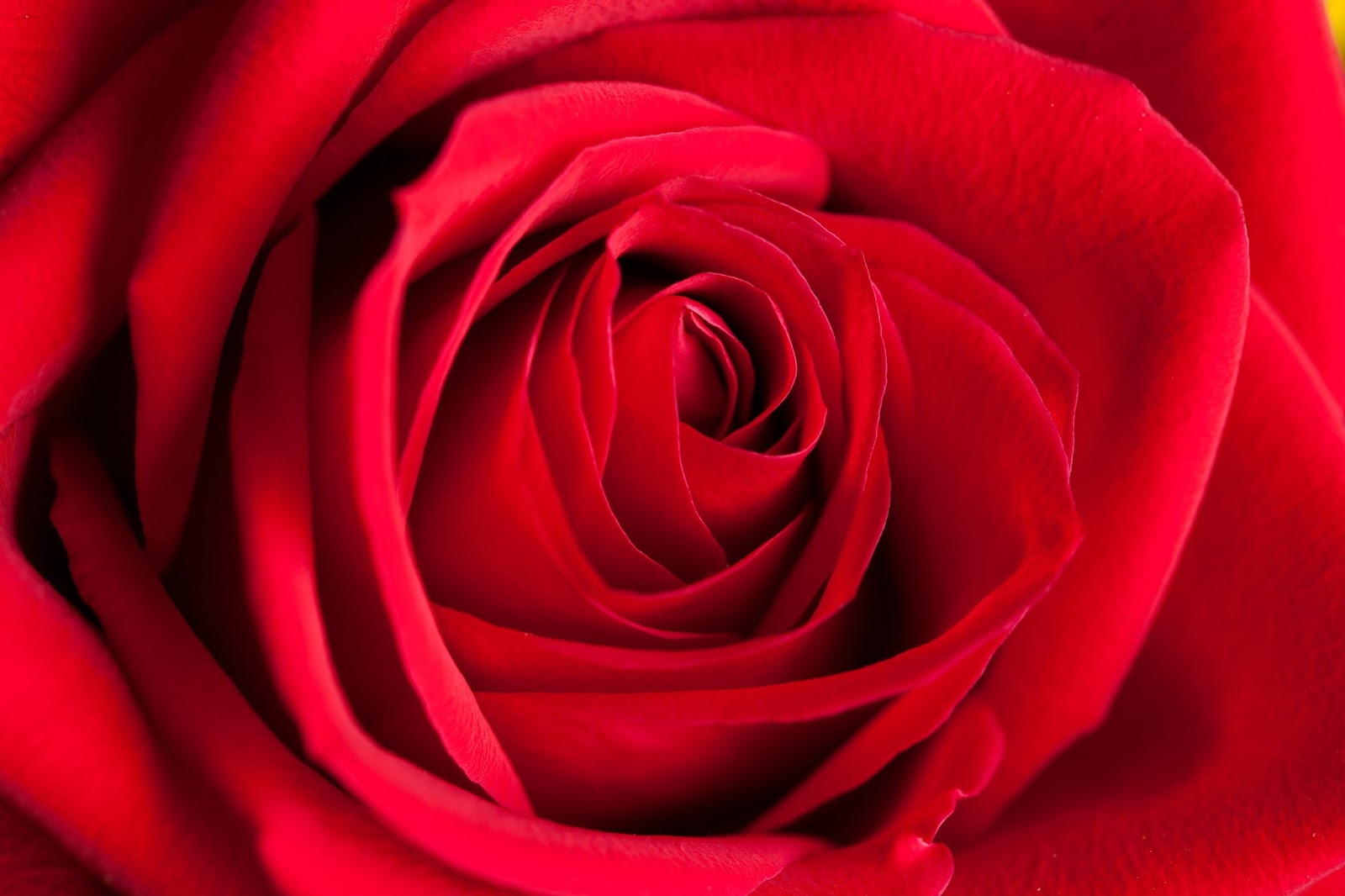 Give Valentine S Day Roses The Right Love And They Ll Last Longer