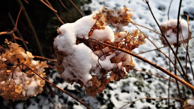 Śniegiem malowane, czyli mój ogród zimą