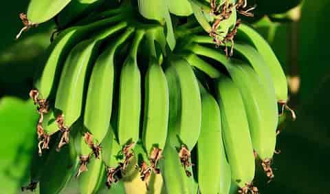 Green banana peel can be used in vitiligo