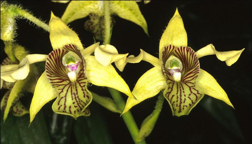 "Anggrek Jamrud ""Dendrobium macrophylum"""