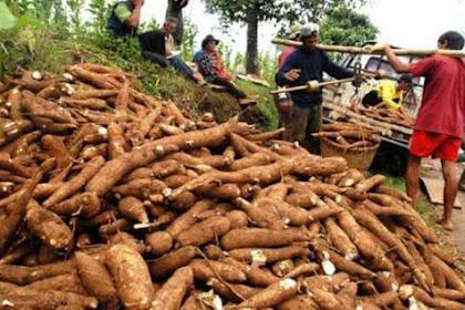 Biaya Tanam Singkong pada Lahan 1/4 Hektare