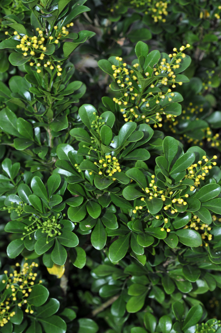 福星花園: 樹蘭
