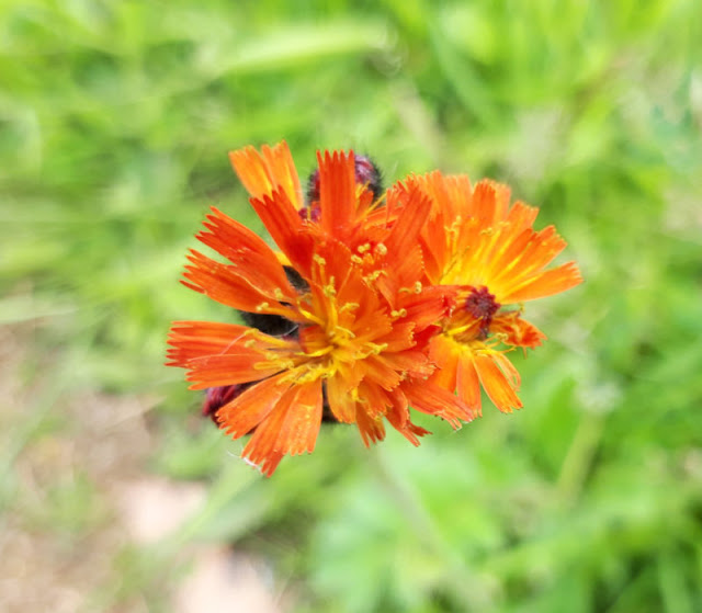 Orange hawkbit flowers