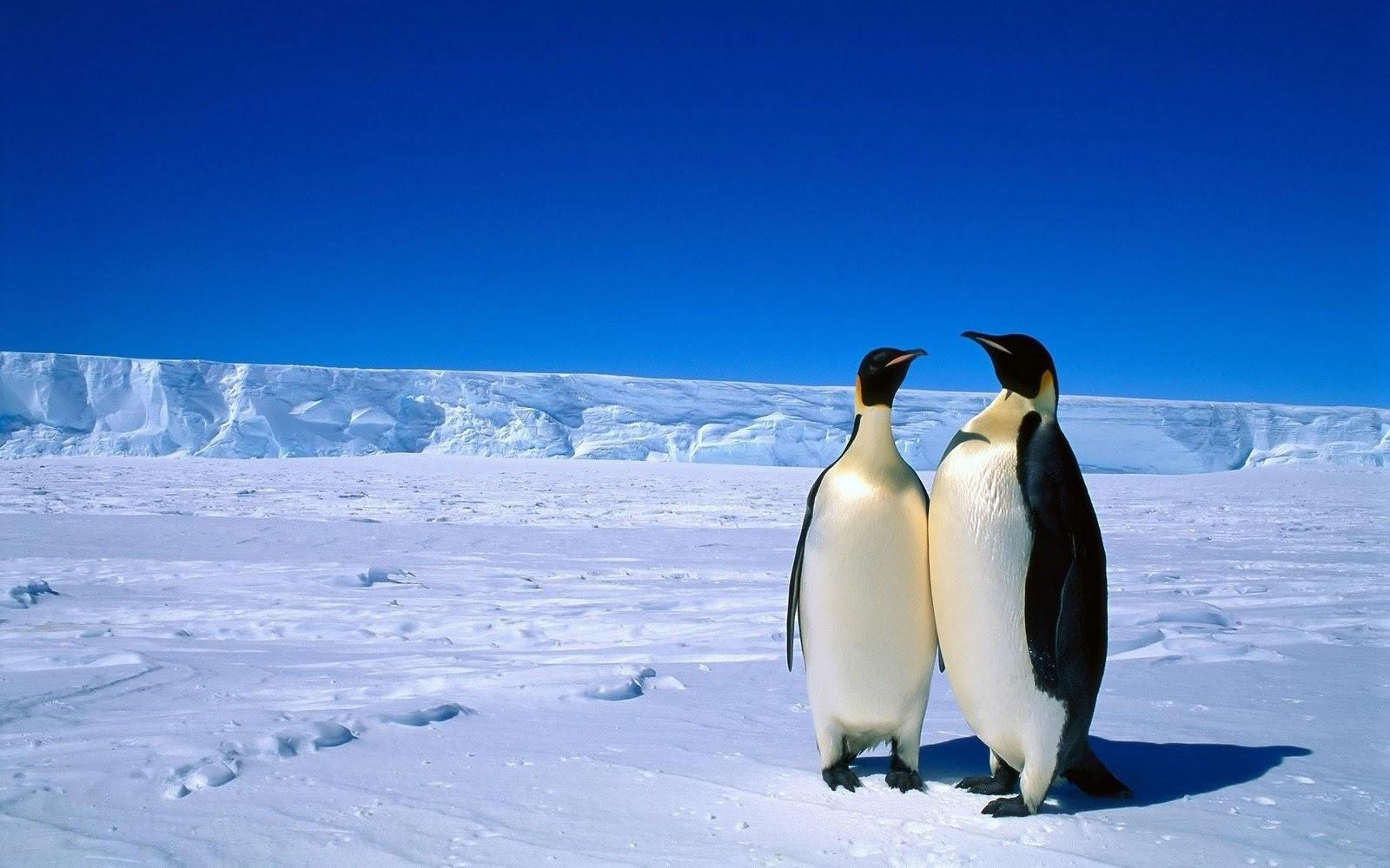 Pinguin Achtergronden | HD Wallpapers