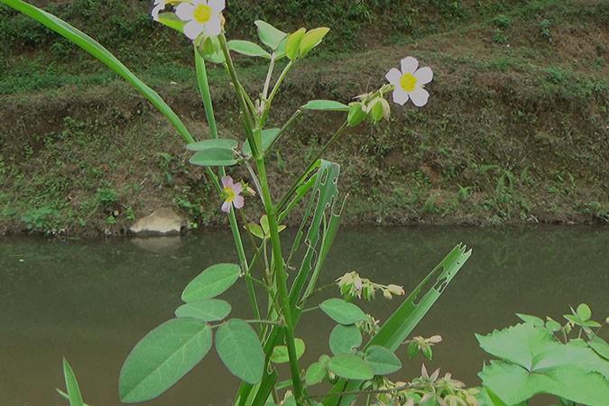 Dlium Lavender sorrel (Oxalis barrelieri)